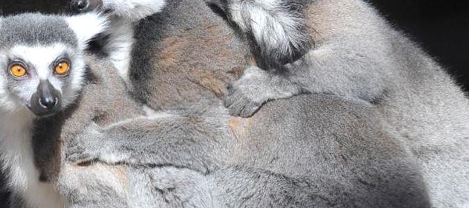 Amarillo Zoo Lemurs